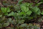 Barren-Strawberry-cape-cod-native-plants-2