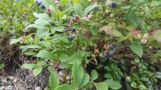 Low-Blue-Fruit