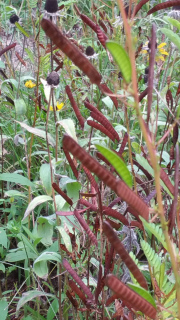 Partridge-Pea-Seed-Pods