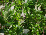 swallowtail-on-clethra