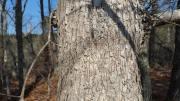 white-oak-bark