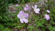 wild-geranium-bloom-cape-cod